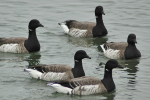 A small brant flock on the water.