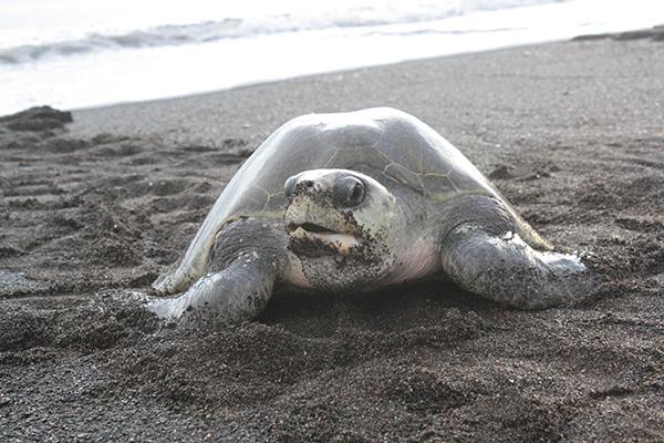 http://d2vsp3qmody48p.cloudfront.net/wp-content/uploads/2014/02/Leatherneck-Turtle.jpg