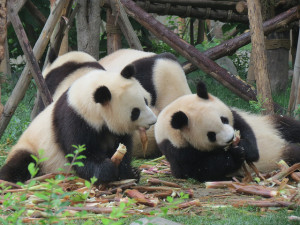 pandas on Steve Hastings 2014 China trip