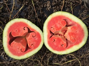 An examble of hollow heart disorder in watermelons.