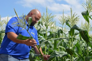 Researchers at UD look at stink bugs on sweet corn