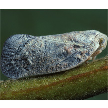 Flatidae-Metcalfa-pruinosa