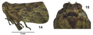 Lollius kuroiwae (Matsumura, 1916) from Gnezdilov 2009 (Iriomote Island)