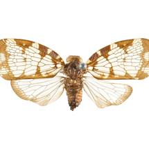 Nogodinidae-flata-reticulata-sharpen