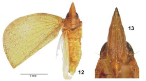 Tonga baingensis (Lallemand & Synave, 1953) (holotype) from Gnezdilov 2009