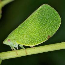 acanaloniidae-Acanalonia-conica-by-doug-tallamy