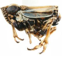 caliscelidae-Aphelomema_histrionica-MALE-LAT