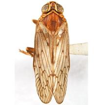 cixiidae-Oliaronus-tontonus-DV-0008