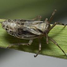 delphacidae-delphax-mongolia-08-sm-I_crb2
