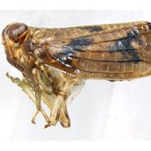issidae-Thionia-bullata-LV-0026