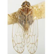 kinnaridae-Oeclidius-nanus-DV0001