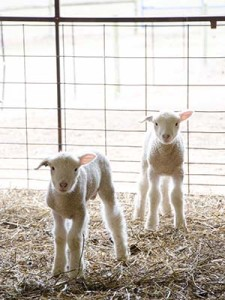 "Several UD Department of Animal and Food Sciences students spent the beginning of the spring semester on ""lamb watch."""