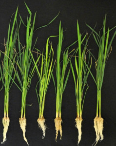 The effort to save rice is but one use of microbial bacteria in protecting or enhancing agricultural plants. Credit Harsh Bais/University of Delaware