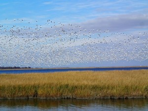 Thousands of snow geese take flight at Bombay Hook National Wildlife Refuge on 31 October 2014. Photo by Abby Walter