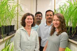 Harsh Bais (second in from right) (Associate Professor of Plant and Soil Sciences), is the Senior Author for research on rice plants. He is working with co-authors Janine Sherrier (left) (Professor of Plant & Soil Sciences) and Angelia Seyfferth (right) (Assistant Professor of Plant & Soil Sciences), and first author Venkatachalam Lakshmanan (second in from left)(Post-Doctoral Researcher)